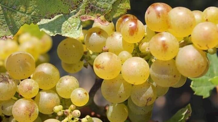 Riesling Grape What's not to love.JPG