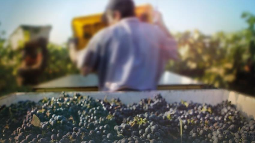 Tempranillo Harvest