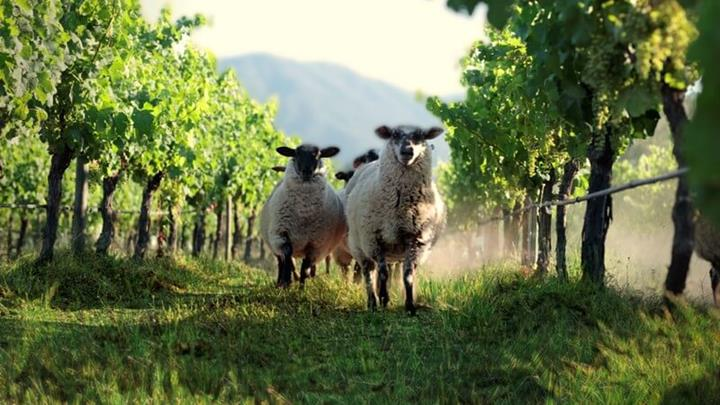 Sheep in primus Vineyard.JPG