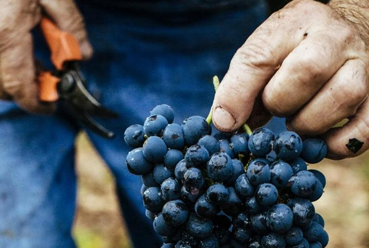 Wine Grape Prune Harvest